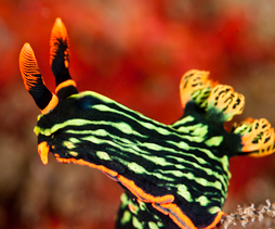 So colourful Nudibranch wp51